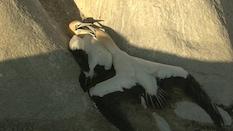 Fighting Gannets