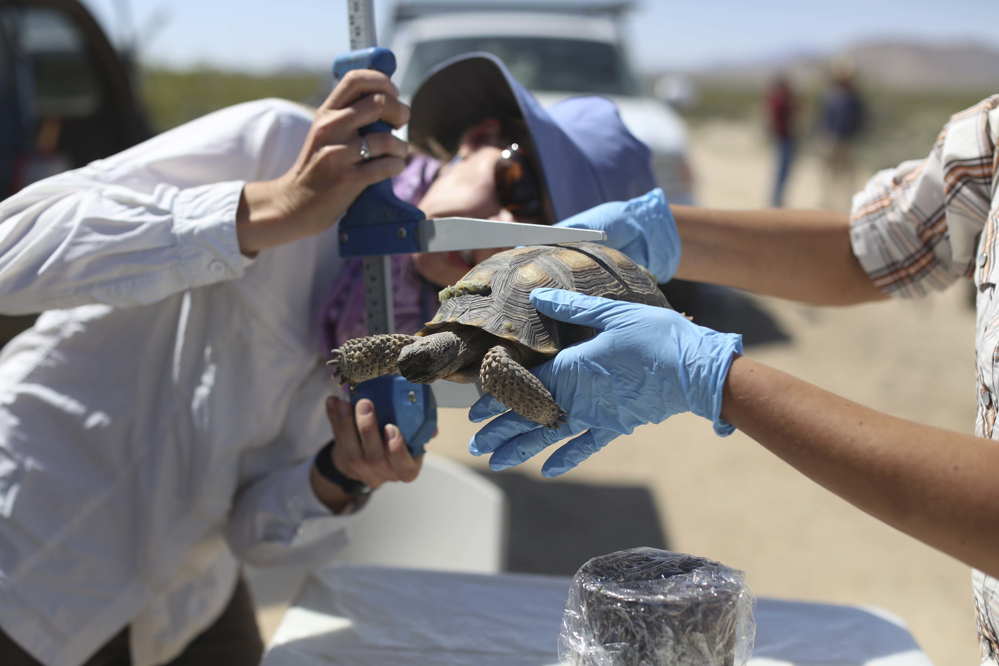 Biologists measure desert tortoise at Marine Corps Air Ground Combat Center Twentynine Palms