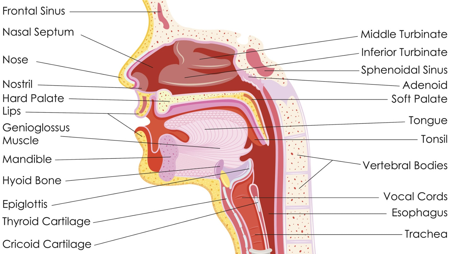Digestive Systemanatomy Of The Mouth Esophagus And Sto The