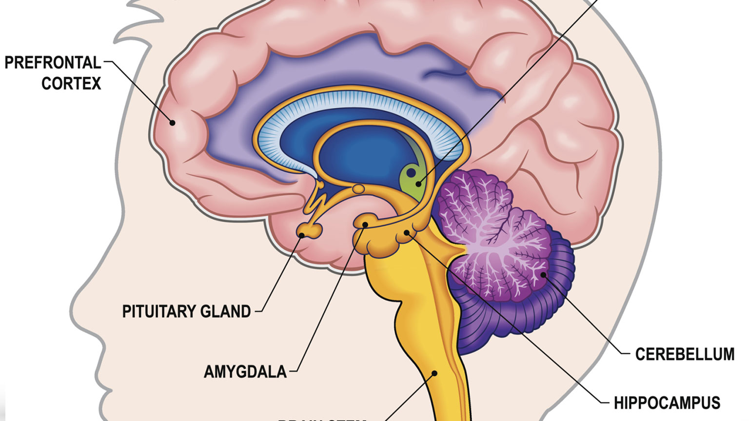 The Limbic System—Anatomy | The Great Courses Plus