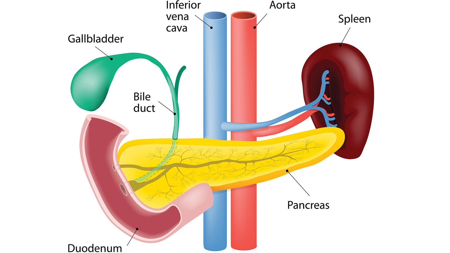 Digestive Systemanatomy Of The Pancreas Liver And The The Great