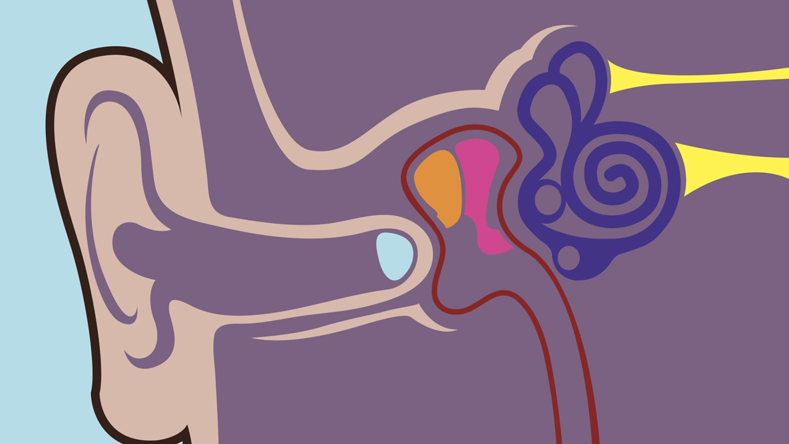 Nervous Systemthe Ears Hearing And Equilibrium The Great