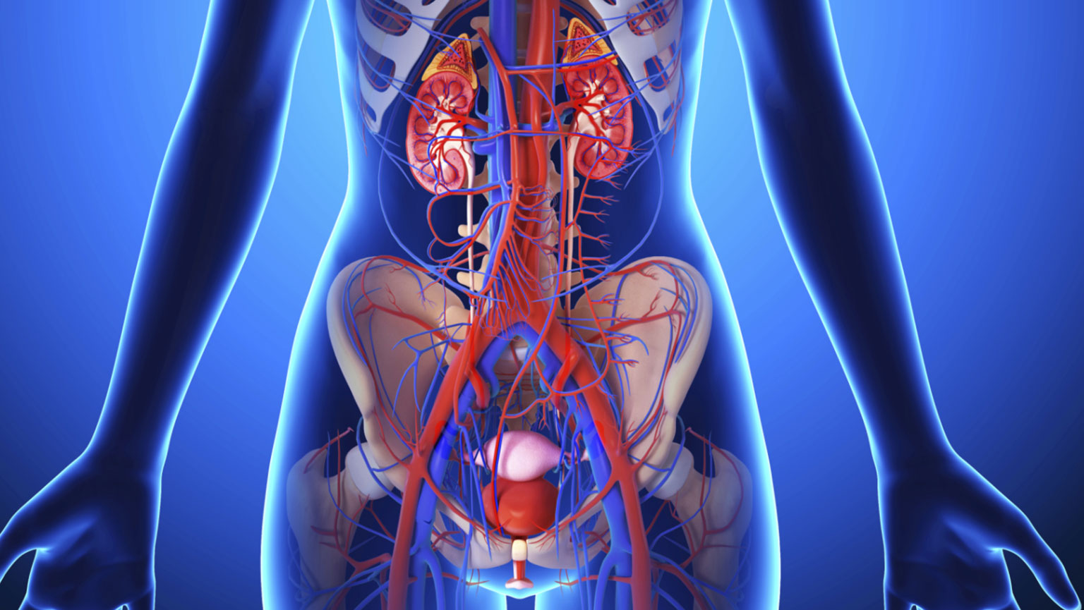Urinary Systemanatomy Of The Kidneys Ureters And Bladd The