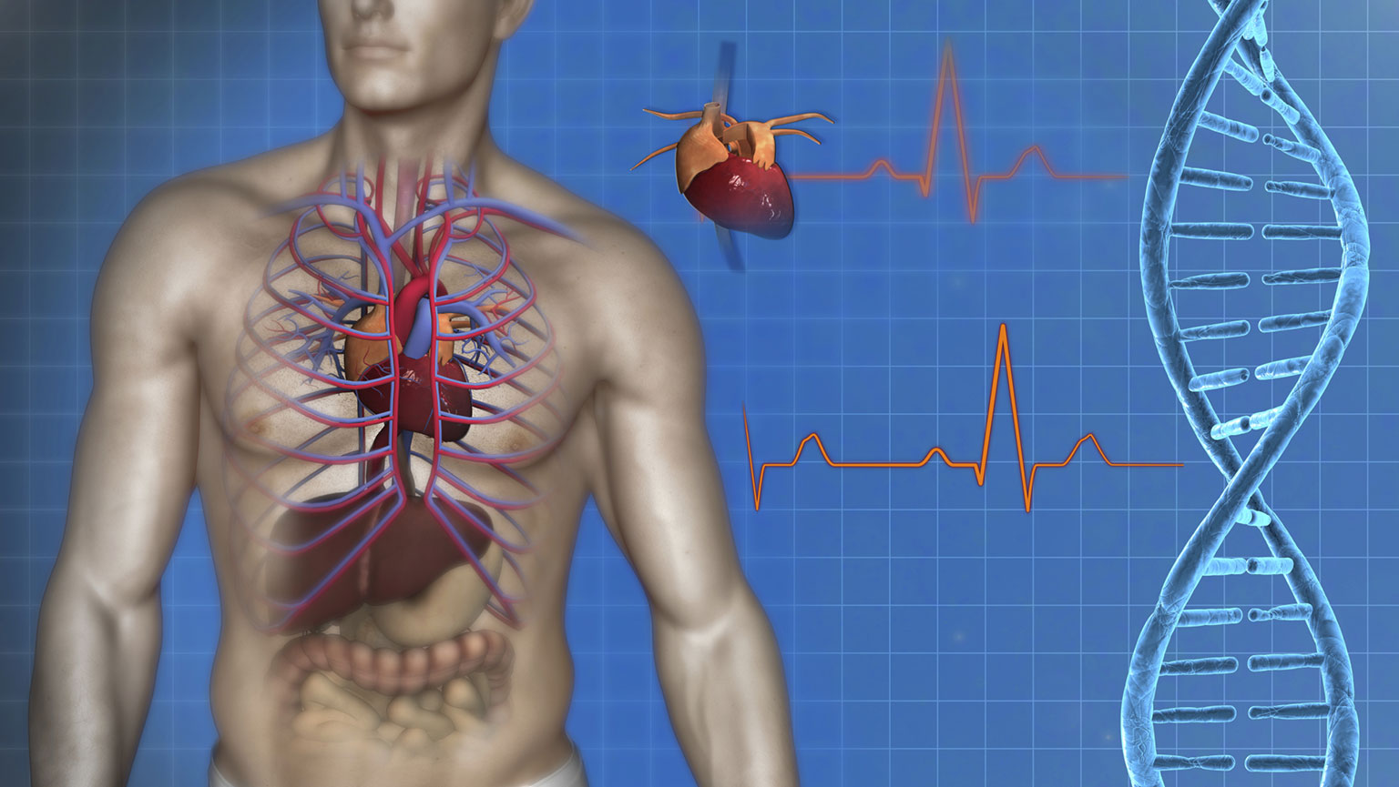 Cardiovascular System—Anatomy of the Heart | The Great Courses Plus