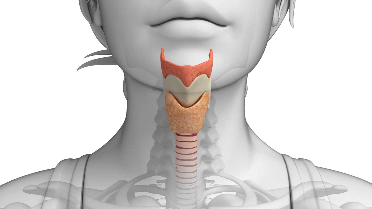 Digestive Systemphysiology Of The Mouth Esophagus And The Great