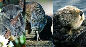 Season 1 Episode 1 Koala Bears, Komodo Dragons, and Sea Otters