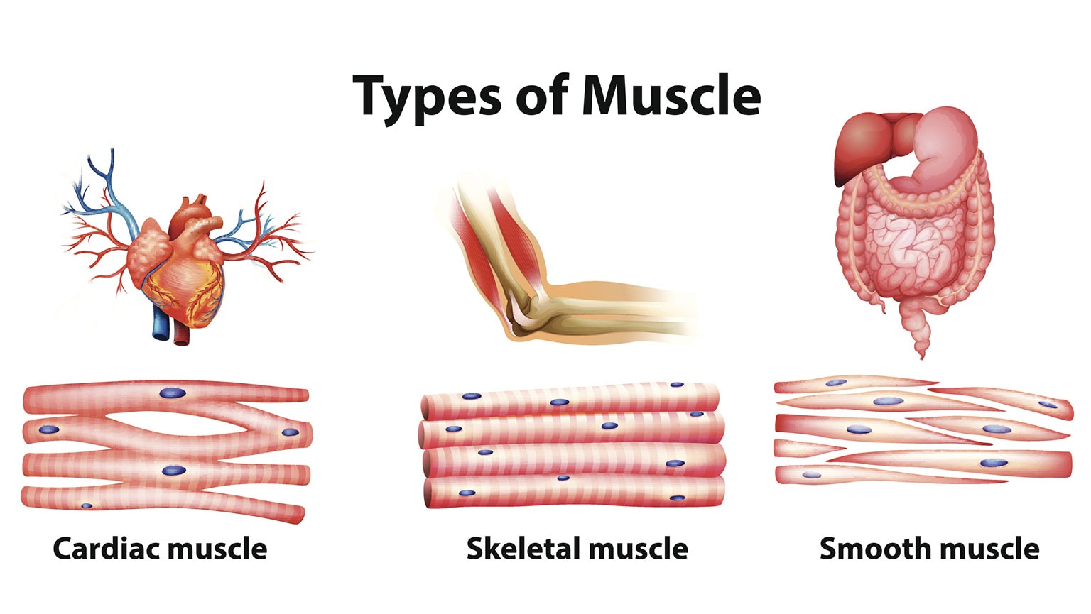Musculoskeletal System—Anatomy of the Muscles