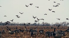 Late Migration