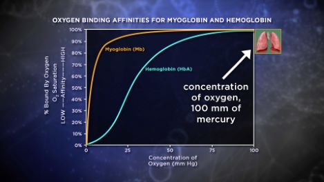 Hemoglobin Function Follows Structure