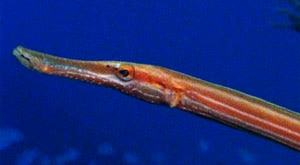 Image of Season 1 Episode 5 The World of the Trumpet Fish