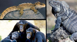 Image of Season 1 Episode 3 Chimpanzees, Rhinoceros Iguanas and Tuataras