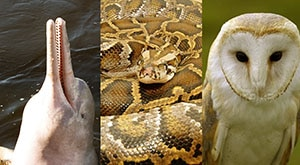 Image of Season 1 Episode 2 Boto Dolphins, Burmese Rock Pythons, and Barn Owls