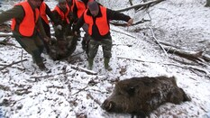 Introduction to Wild Boar Fever