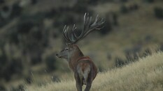 New Zealand Red Stags 3