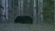 Spot and Stalk Black Bear Hunting