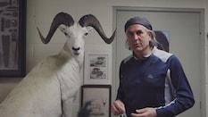 The Dalls Sheep