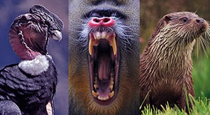Image of Season 1 Episode 7 European Otters, Andean Condors, and Mandrills