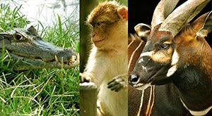 Image of Season 1 Episode 11 Barbary Macaques, Caimans, and Bongos