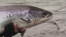Steelhead & Salmon