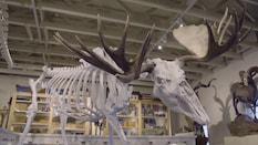 The Moose Skeleton