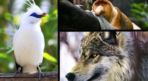 Image of Season 1 Episode 7 Gray Wolves, Bali Starlings and Proboscis Monkeys