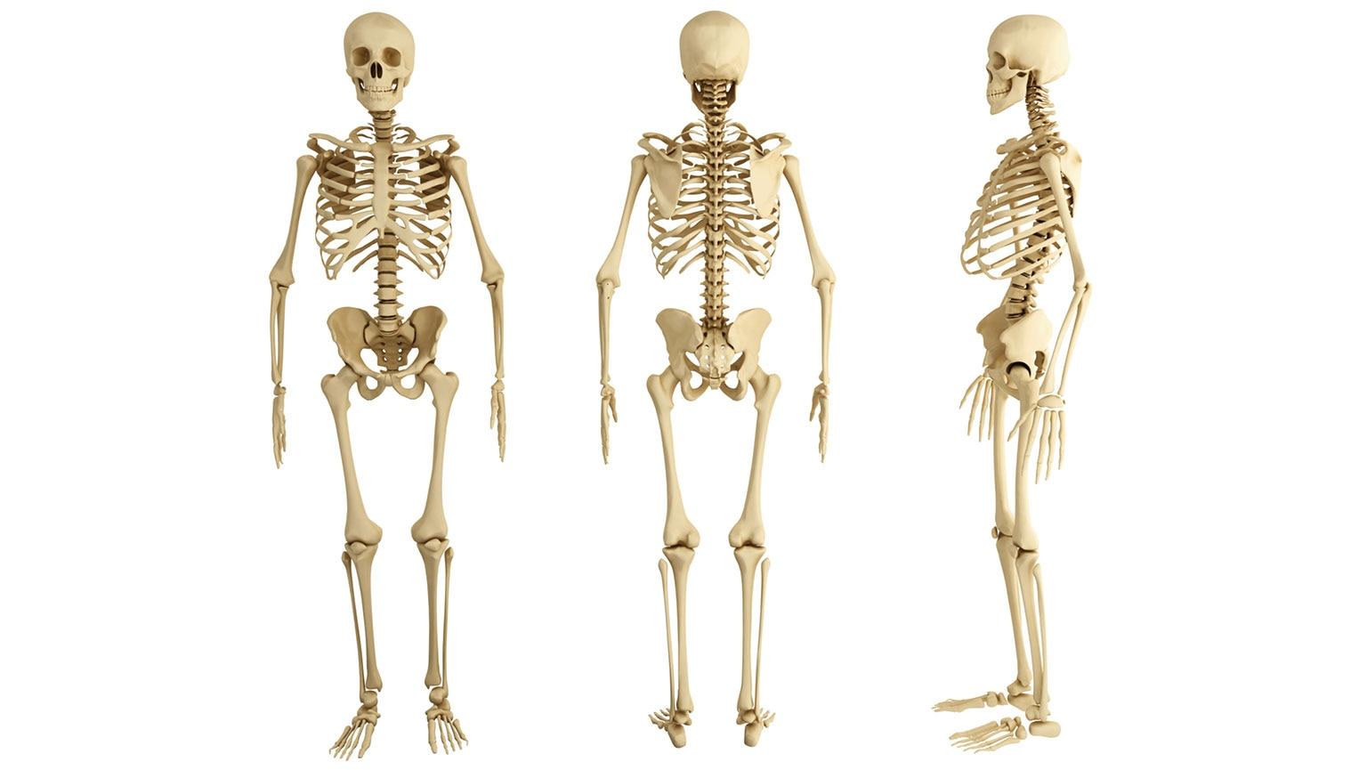 Musculoskeletal System—Bones