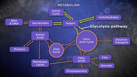 Breaking Down Sugars and Fatty Acids