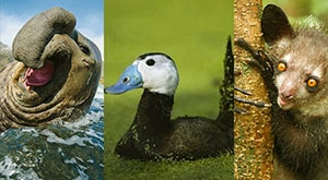 Image of Season 1 Episode 10 Aye-Ayes, White-Headed Ducks, and Southern Elephant Seals