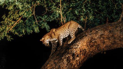 Night Safaris