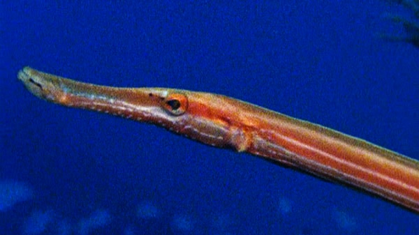 The World of the Trumpet Fish