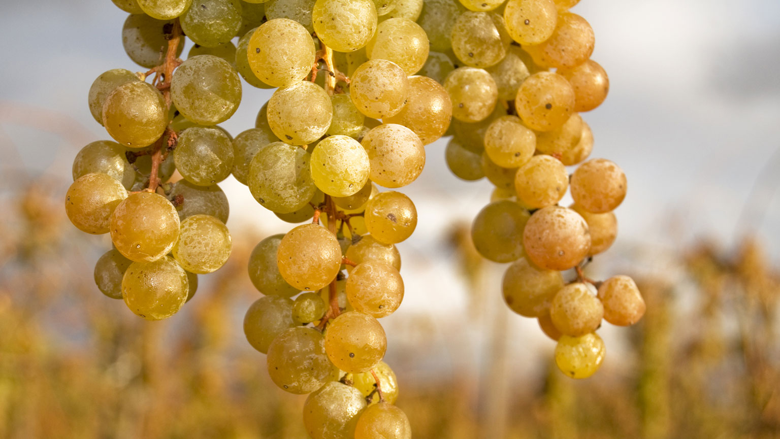 Noble Whites—Sauvignon Blanc and Chardonnay