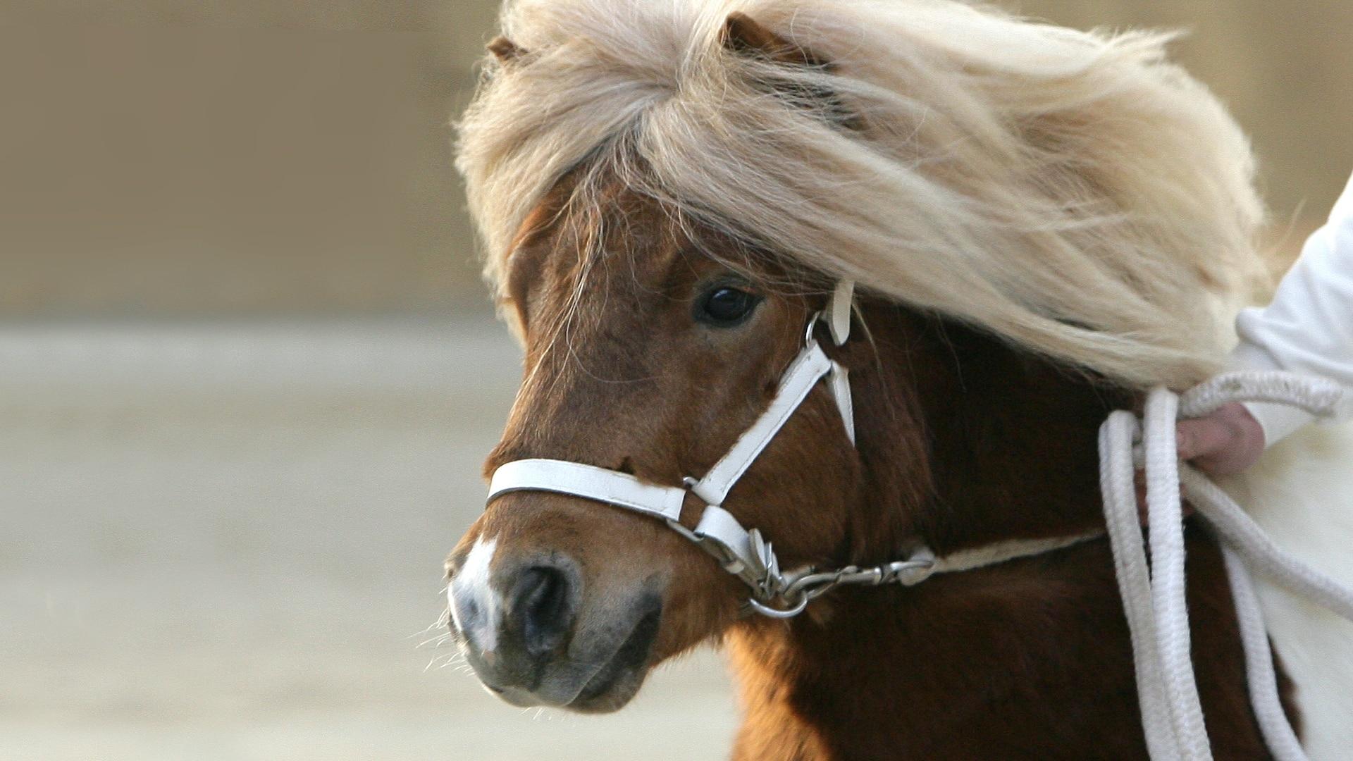 Dutch Shetland Pony Association 2021 Stallion Inspection