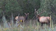 She Talks To Elk