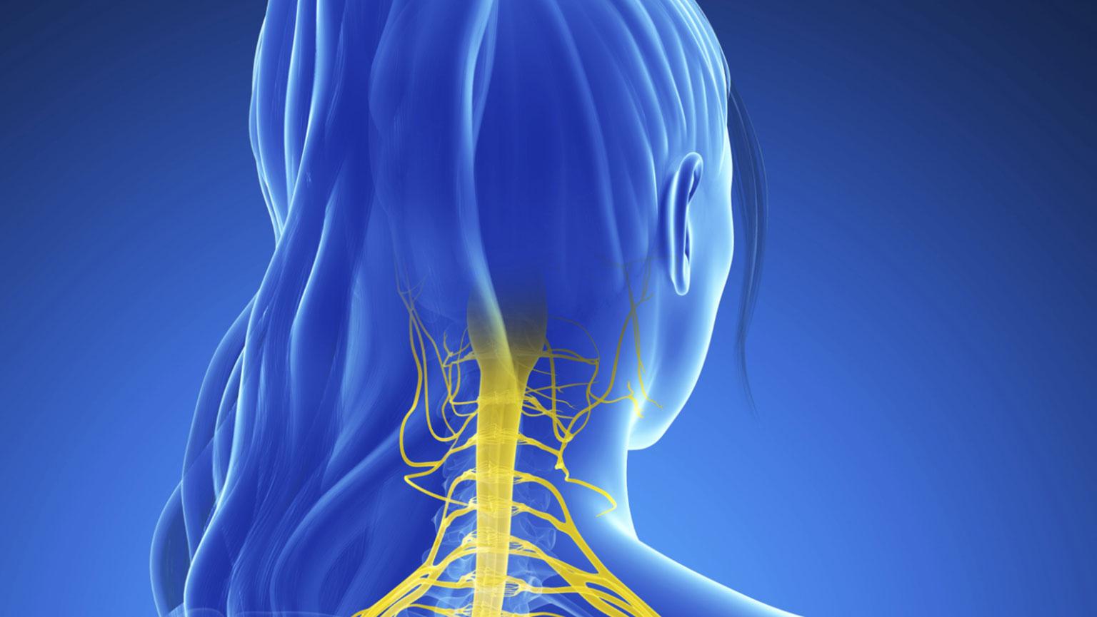 Central Nervous System—Gross Organization
