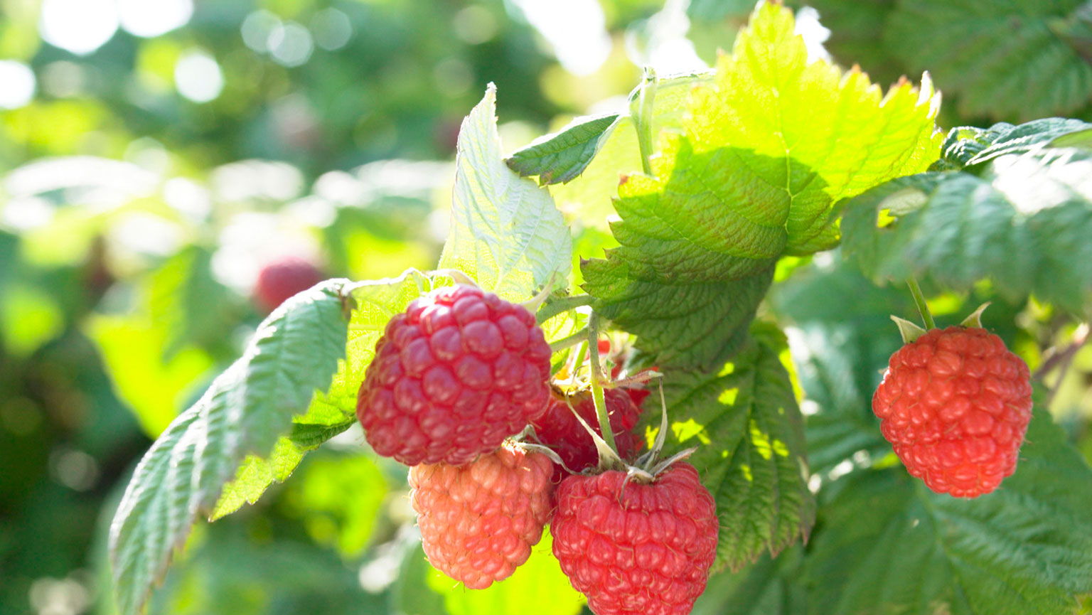 Small Fruit Cultivation and Care