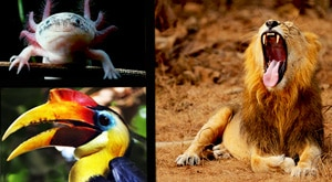 Image of Season 1 Episode 5 Wrinkled Hornbills, Mexican Axolotls and Asiatic Lions