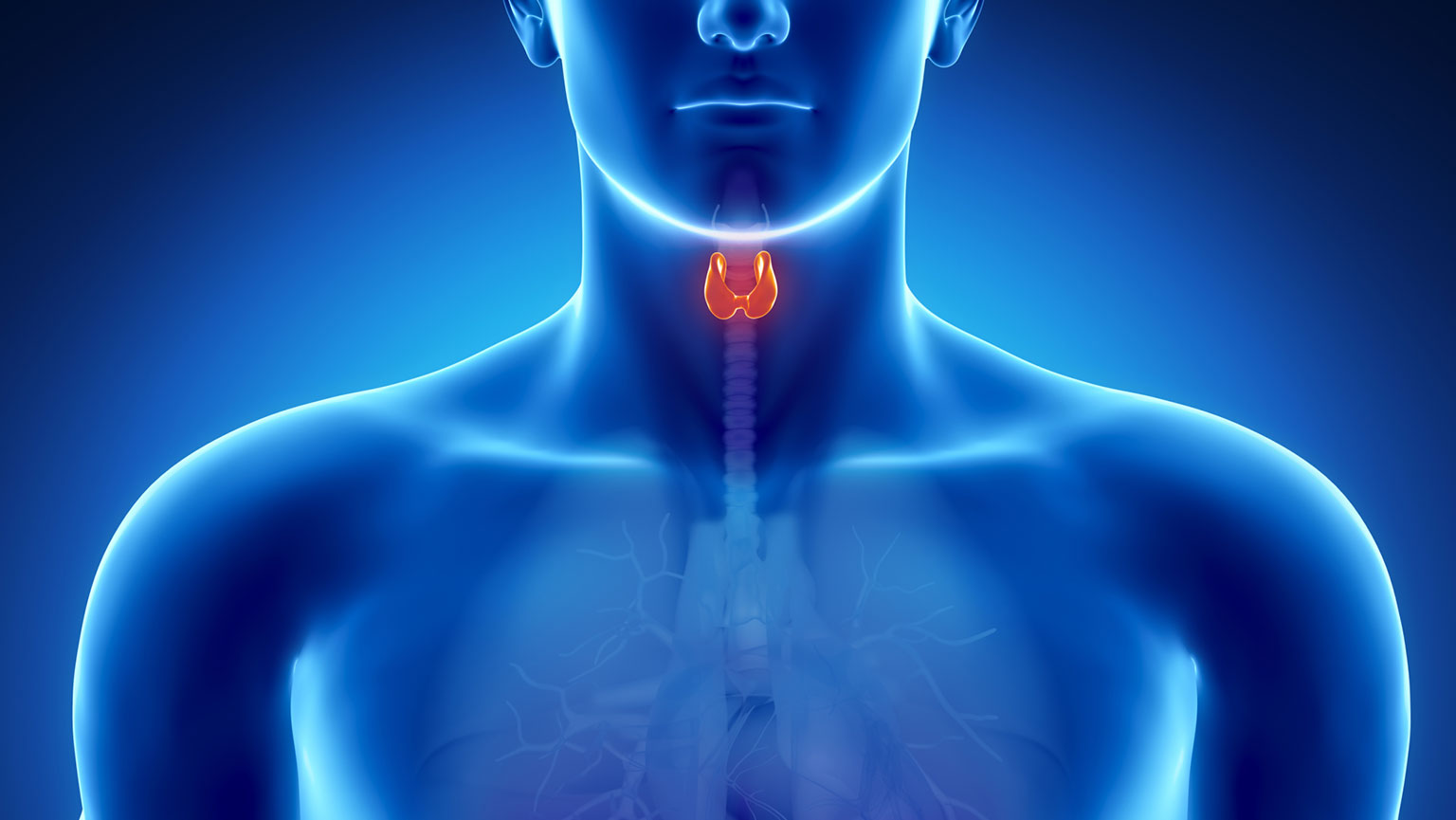Endocrine System—Thyroid and Parathyroid Glands