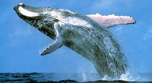 Image of Season 1 Episode 3 Blue Whales, Giants of the Deep