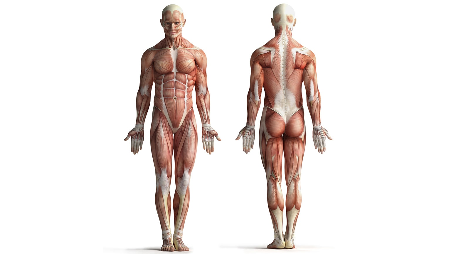 Musculoskeletal System—Physiology and Physics of the Muscles
